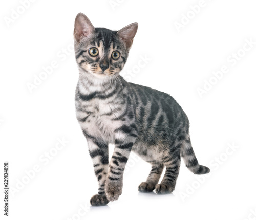 bengal kitten in studio - 229134898