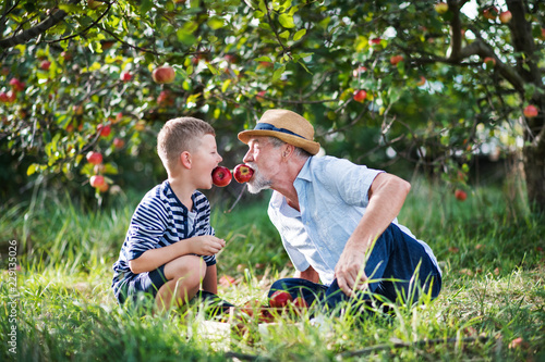 Leinwanddruck Bild A senior man with grandson having fun when picking apples in orchard in autumn.