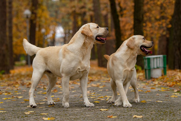 autumn dogs. couple kennel dogs in autumn park