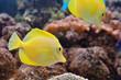 Zebrasoma fish in aquarium