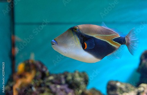Lagoon triggerfish Coral reef