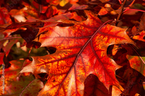 Oak autumn leaves - 229156227