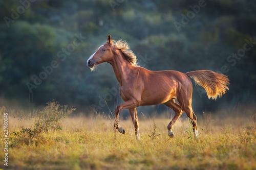 Red horse run in meadow © kwadrat70