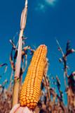 Corn in field - 229171236