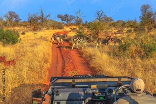 Group of Zebras cross a red sand road during a game drive safari. Madikwe savannah landscape in South Africa. The Zebra belongs to the horse family and stand out for the unique black stripes. © bennymarty