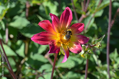 A Small Pink And Yellow Dahlia With Bee On It