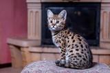 Cat Savannah F1, fur spot on gold