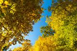 autumn top tree on blue sky background - 229194205