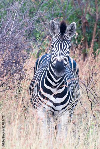 Plains Zebra (Equus quagga) in open grassland, Sabi Sands, Greater Kruger, South Africa