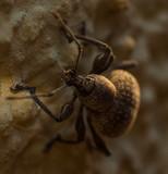 Macro of brown bug vine weevil