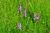 Fuchs' Knabenkraut, geschützte Orchidee