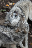 wolves closeup forest