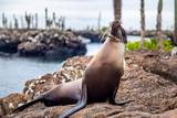 Otarie des Galapagos dans la nature en  Equateur - 229222276