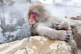 Cute japanese snow monkey sleeping in a hot spring. Nagano Prefecture, Japan. - 229223853