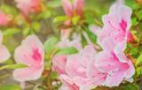 Blooming azalea. Rhododendron schlippenbachii. Macro