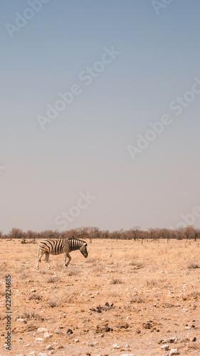 Einzelnes Steppenzebra in Namibia, Landschaft hochkant