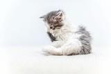 Cat. funny kitty grey