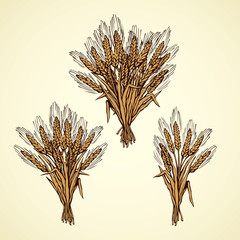 Seven spikelets of wheat. Vector drawing