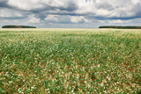 flower field, flowering buckwheat and forest far on the horizon, beautiful bright sky with clouds, beautiful summer landscape
