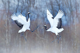 Dancing pair of Red-crowned crane with open wings, winter Hokkaido, Japan. Snowy dance in nature. Courtship of beautiful large white birds in snow. Animal love mating behaviour, bird dance. - 229239024