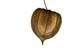 Lantern flower (Physalis alkekengi) isolated on white background. Detail of Chinese Lantern Flower. - 229240240