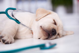 Cute labrador puppy asleep during examination at the veterinary