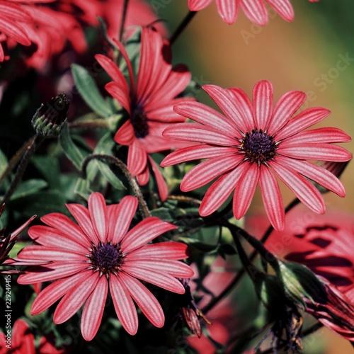 Foto Murales red flowers