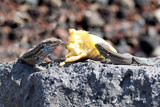 Wall lizard in La Palma, Canary Islands, eating a discarded banana with tongue sticking out