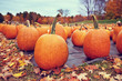 Pumpkins for sale at a pumpkin patch in autumn. Colorful fall trees in the background. - 229255820