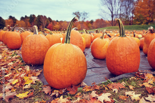 Pumpkins for sale at a pumpkin patch in autumn. Colorful fall trees in the background.