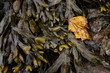 A torn leaf lies on some seaweeds at a beach