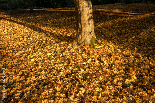 tree trunk cast shadow near sunset on the fall leaves filled ground