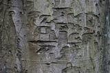 damaged beech tree texture - 229310498