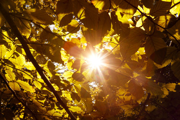 Magical sun rays through gold colored autumn season leaves. © robsonphoto