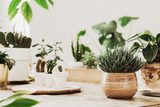 Close up of avocado plant ,cacti and succulents composition in home garden made by gardener. White interior, wooden table , nature lover. - 229340672