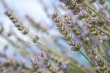 Duftendes Lavendelfeld und blauer Himmel