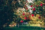 Pommier avec pommes rouges dans le verger - 229360862