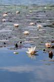 Seerosen auf einem See - 229367086