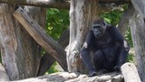 Gorillas -- three clips of gorillas at the zoo HD - 229374405