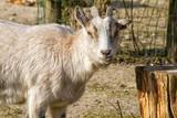 goat - 229376840