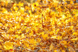 Flying yellow leaves on the wind - 229378449