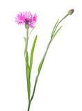 pink cornflower bloom and one bud on stem