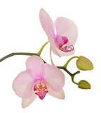two light pink orchid blooms on white