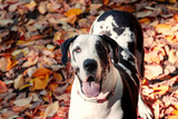 Beautiful harlequin great dane dog  in autumn close portrait with colorful leaves.