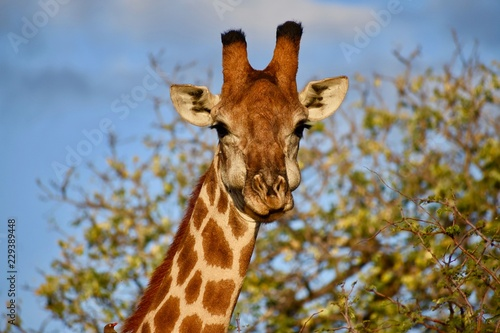 Wall mural Giraffe Face