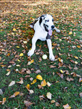 Beautiful harlequin great dane dog  in autumn tired from chasing his ball.