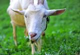 Portrait of a goat eating green grass - 229420413