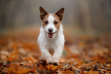dog in the autumn leaves running in the Park. Pet on nature. Funny and cute Jack Russell Terrier - 229438855