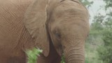 A large elephant tearing off leaves of a branch on the ground with its trunk and putting it in its mouth - 229452492