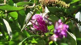 box tree moth butterflies eating nectar on the flowers of a summer lilac or butterfly-bush.  Cydalima perspectalis  is an invasive species destroying boxwood .  - 229461287